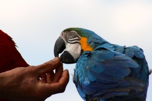 tame-blue-macaw-738185_1280