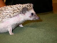 hedgehog-th